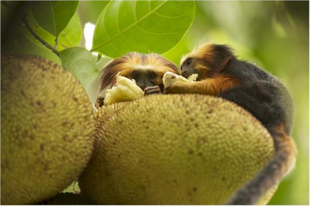 Monkey im Amazona Rainforest. (Foto: Markus Mauthe)